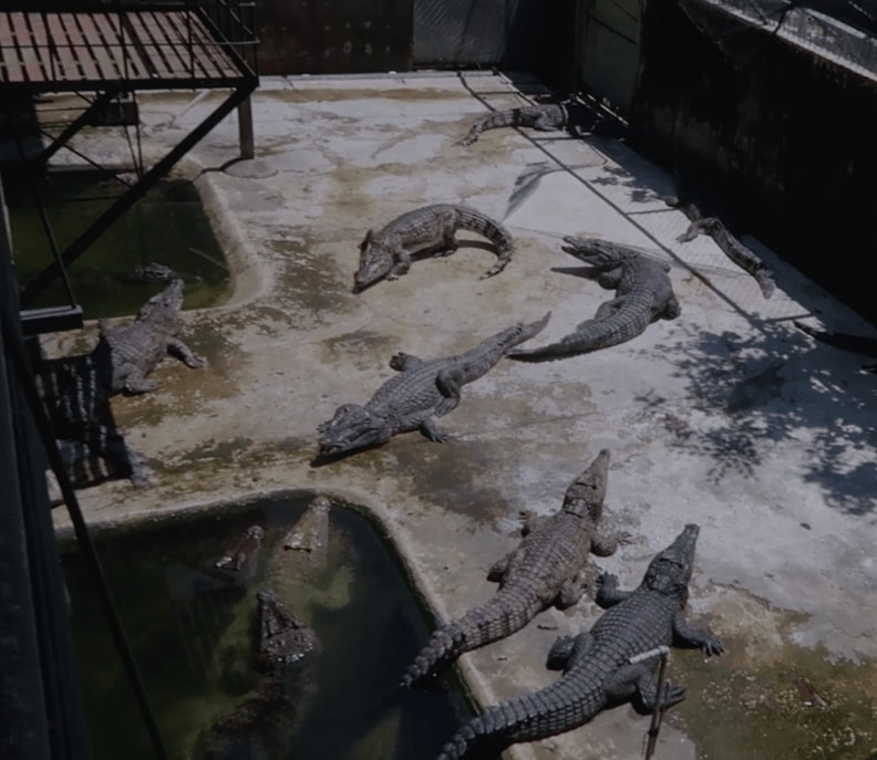 adult crocodiles chilling in Palawan Wildlife Rescue and Conservation Centre
