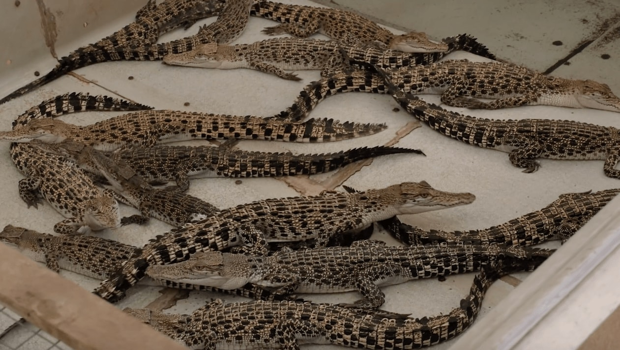 little breeding crocodiles in Palawan Wildlife Rescue and Conservation Centre