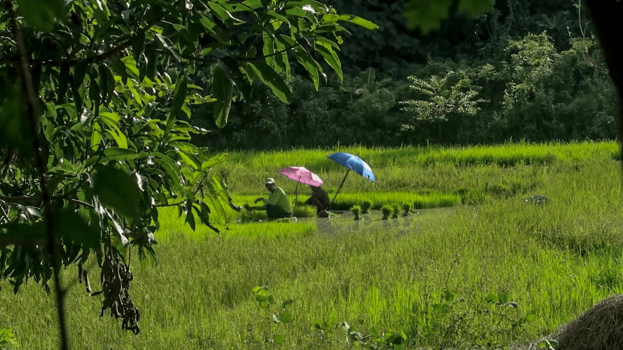 filipino farmers harvesting rice in the philippines
